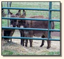 Wit's End Farm Chico & Wit's End Farm Felina, miniature donkeys for sale (12,076 bytes)