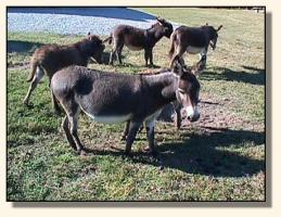 Pasture Donkeys (16,201 bytes)