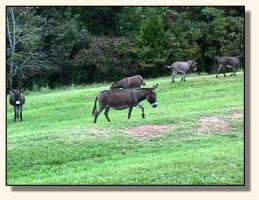 More Pasture Donkeys (14,004 bytes)